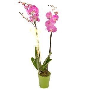 Salon Des Fleurs-Double Pink Orchid