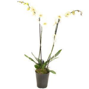 Salon Des Fleurs-Double White Orchid