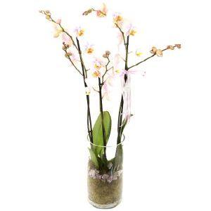 Salon Des Fleurs-Phalaenopsis Orchid