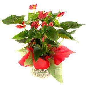 Salon Des Fleurs-Red Anthurium