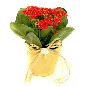 Salon Des Fleurs-Red Kalanchoe