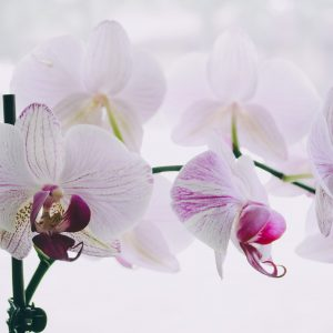 Salon Des Fleurs Double Pink Orchid