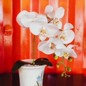 Salon Des Fleurs Phalaenopsis Orchid