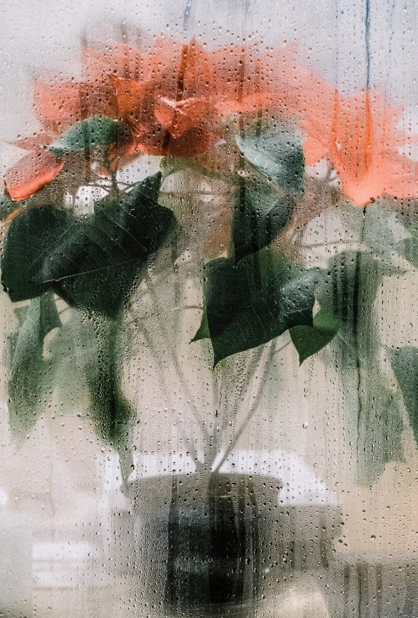 Salon Des Fleurs Poinsettia Plant