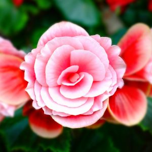 Salon Des Fleurs Stunning Red Roses