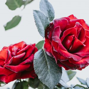 Salon Des Fleurs Twenty Red Roses